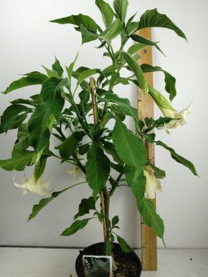 Brugmansia cordata