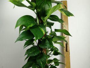 Epipremnum pinnatum moss stick