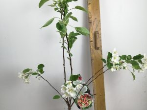 Malus 'Evereste'
