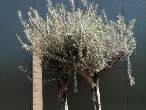 Olea op stam
