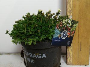 Saxifraga Alpino white