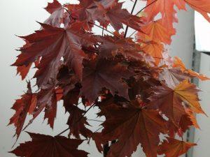 Acer plat. 'Crimson Sentry'