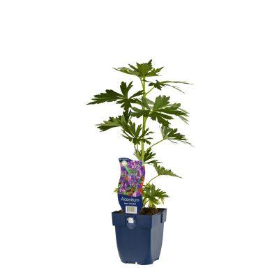 Aconitum carm. 'Arendsii'
