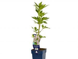 Aconitum carm. 'Cloudy'