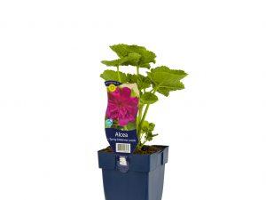 Alcea rosea 'Spr. Cel.' purple