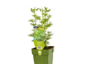 Artemisia abrotanum