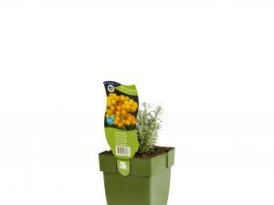 Helichrysum it. 'Dwarf Curry'