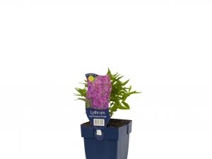 Lythrum sal. 'Dropmore Purple'