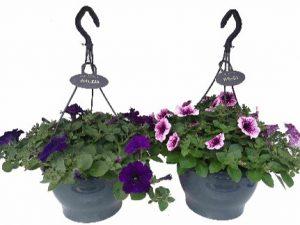 Petunia div kleuren