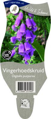 (WI) Digitalis purpurea
