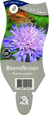 (WI) Knautia arvensis
