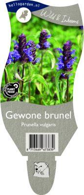 (WI) Prunella vulgaris