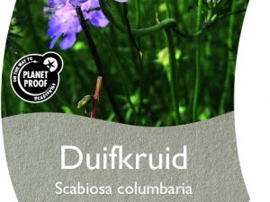 (WI) Scabiosa columbaria