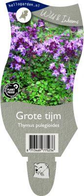 (WI) Thymus pulegioides
