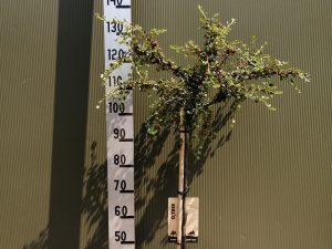 Cotoneaster nanshan 'Boer' F