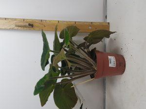 Begonia Masoniana Jungle P15