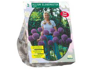 Allium Globemaster per 2