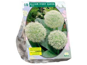 Allium Ivory Queen per 10