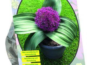 Allium Red Giant per 5