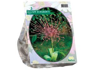 Allium Schuberti per 3