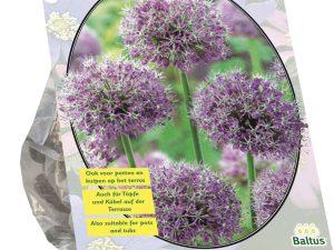 Allium Stipitatum per 2