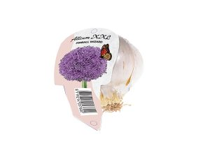 Allium XXL Pinball Wizard (Organza met etiket)