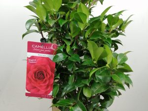 Camellia ret. 'Black Lace'