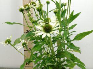 Echinacea 'Conetto Coco'