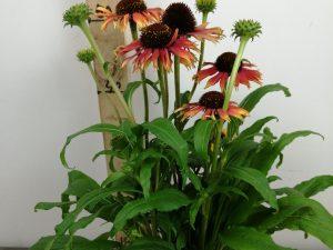 Echinacea 'Fountain Orange Bicolour' ® V